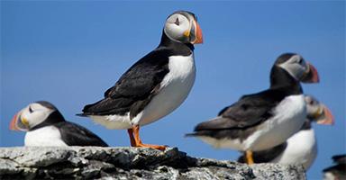 frailecillo-viajohoy-com Bahias y Fiordos en Islandia