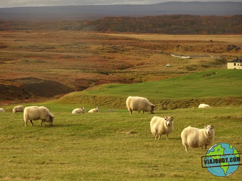 ovejas-Islandia-viajohoy1 7 Cosas que no sabias de Islandia ¿o si?