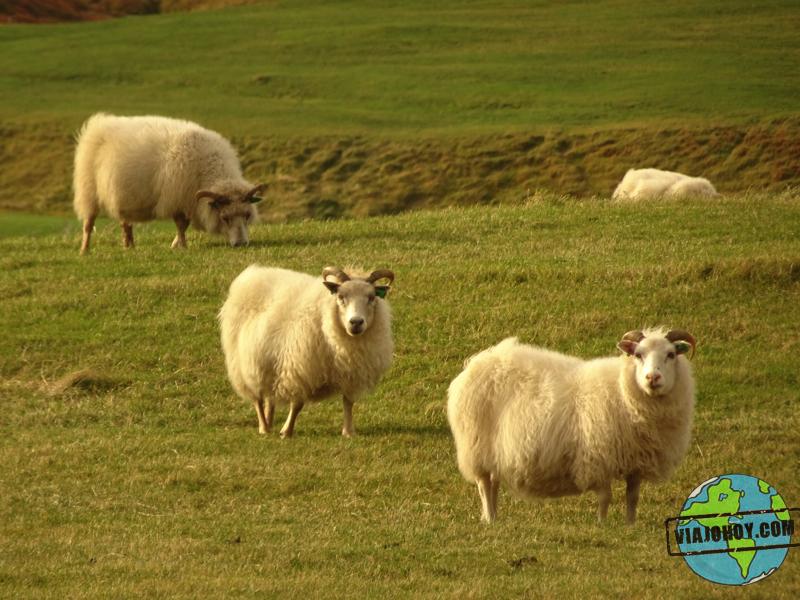 ovejas-Islandia-viajohoy2 7 Cosas que no sabias de Islandia ¿o si?